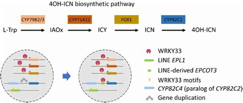 A LINE retrotransposon allowed WRKY33 to regulate CYPB2C2
