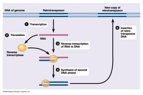 Genetics: What Are Transposons?   HubPages