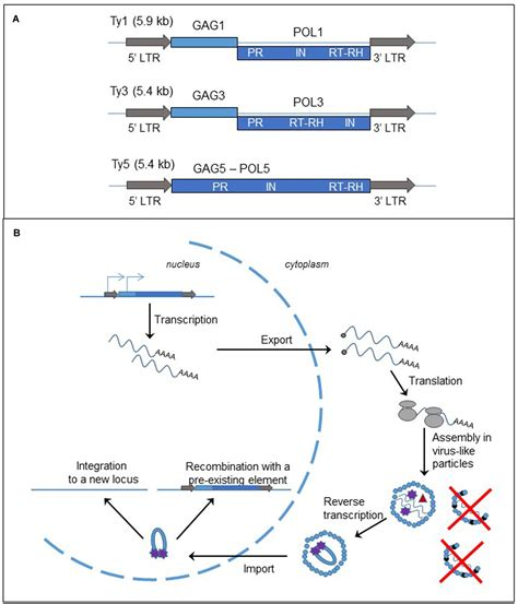 Frontiers   Insertion of Retrotransposons at Chromosome
